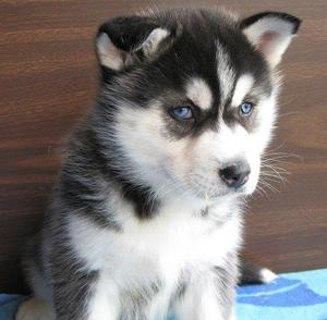 Seattle Outstanding Black And White Blue Eyes Siberian Husky Puppies